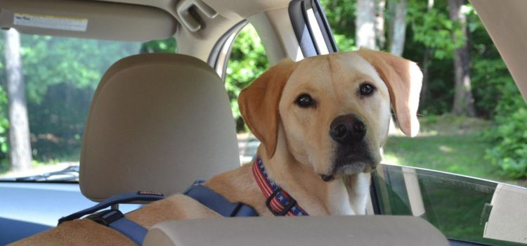 Three Important Safety Tips when Taking your Dog to a Drive