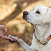 Should You Send Your Labrador Away for Training?