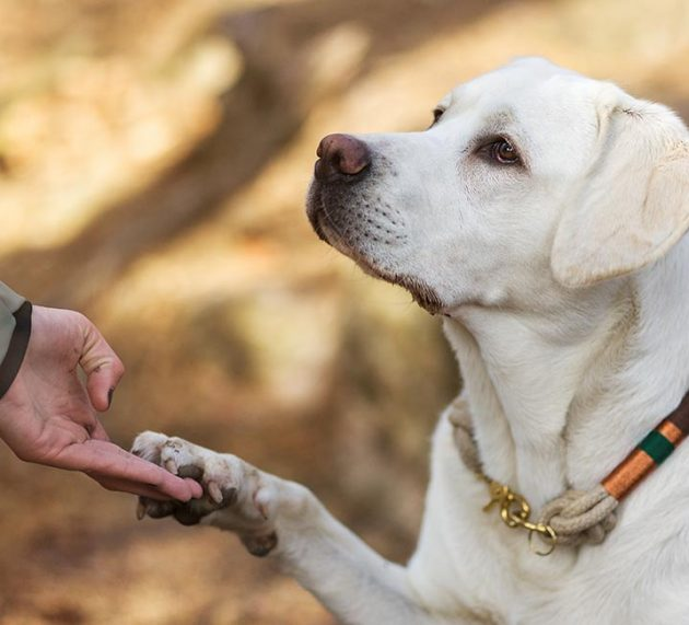 Should You Send Your Labrador Away for Training?