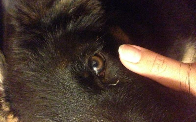 Some Common Reasons For Dog Eye Discharge